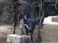 умно-корова