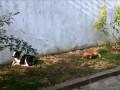 Собака подпевака