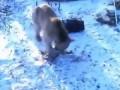 Медведь шатун проснулся