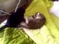 Кошки дерутся из-за места в кровати ...