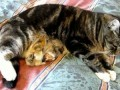 Chick Swallowed by Cats Belly