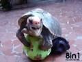Черепаха занимается любовью с мячиком / penis tortue / Член черепахи