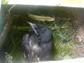 Raven calls for help. Воронёнок зовет на помощь. Язык животных.