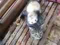 Обалдеть!!! Хорёк поймал кошку и ...!!!