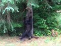 Watching a Grizzly Bear Scratching against a tree at Knight Inlet BC