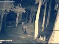 Ягуар убивает собаку (Jaguar kills dog)