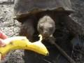 Черепаха ест банан
