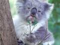 коала-презрение