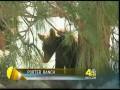 Спасение медведя в Porter Ranch