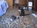 Кошки выясняют отношения