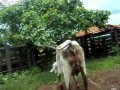 Корова vs девушка