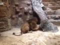 Лев убил львицу в зоопарке