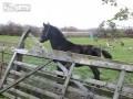 Молодой жеребец и высокий забор ...