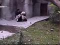Панды не хотят принимать лекарство