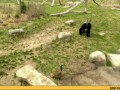 гусь и горила