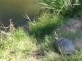 Нырок черепахи ...