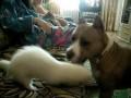 Хорек и пес