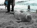тюлень в Калининграде
