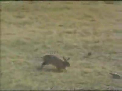Rabbit chasing a big snake must see....