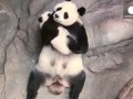 World's Best Place For These Panda Cubs - Mom's Arms!