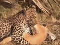 Most Amazing Wild Animal Save other Animals - Most Amazing Wild Animal Attacks, lion, Deer, zebra