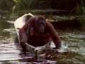 Attenborough: Amazing DIY Orangutans - BBC Earth