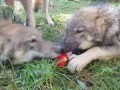 Wolves Share Apple