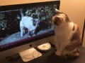 Cat watches YouTube video of herself and other cats meowing